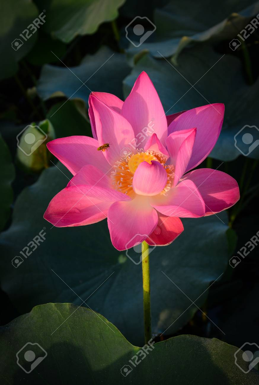 A lotus flower blooming at sunrise many deities of asian religions a lotus flower blooming at sunrise many deities of asian religions are depicted as seated izmirmasajfo