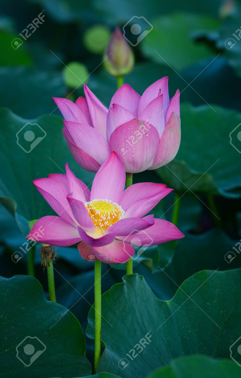 Lotus Flowers Blooming On The Pond In Summer For Thousands Of