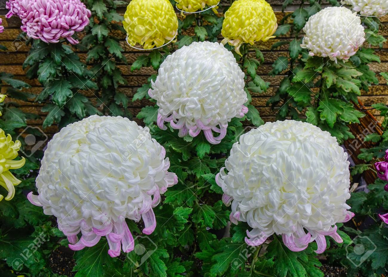 White Japanese Chrysanthemum Flowers Blooming At Autumn In The