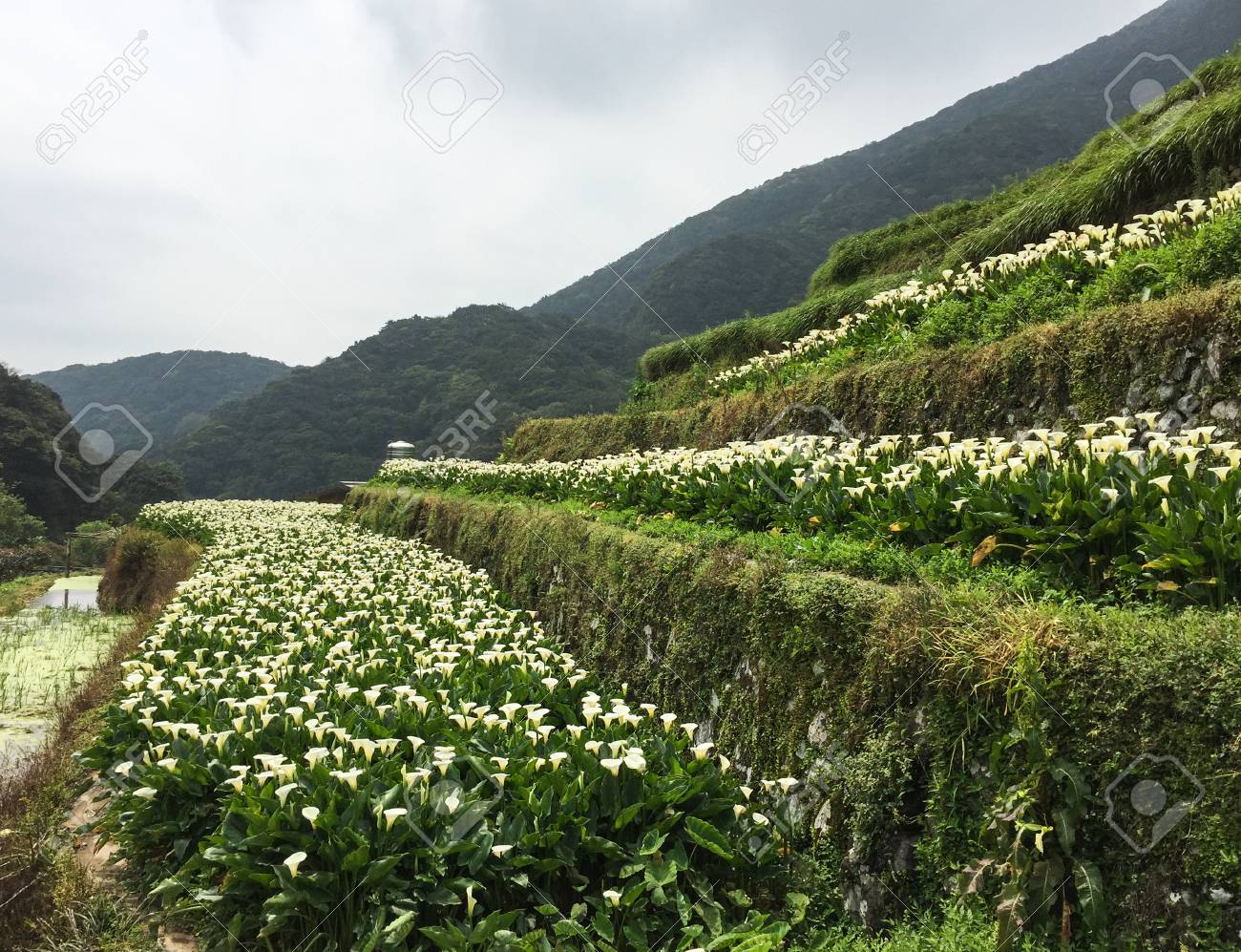 Zantedeschia aethiopica known as calla lily and arum lily flower stock photo zantedeschia aethiopica known as calla lily and arum lily flower fields on the hill at spring time izmirmasajfo