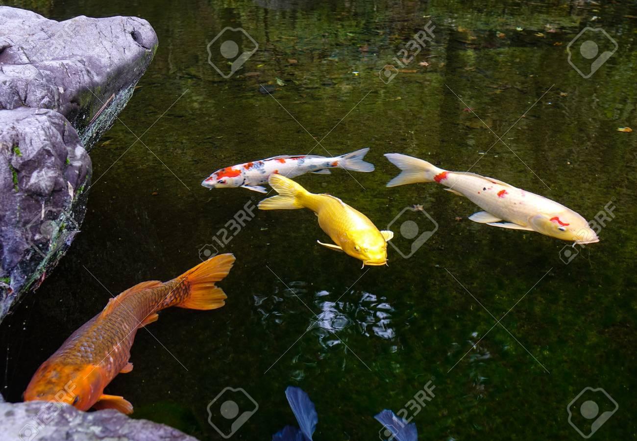 Estanque De Peces Koi En Un Dia Soleado En Kanazawa Japon Los - Estanques-peces