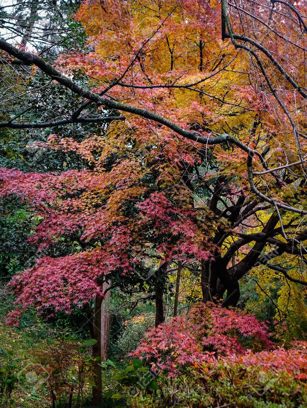 Acero Blu Giapponese molti alberi di acero nella foresta in autunno a kanazawa, in giappone.  kanazawa è chiamato piccolo kyoto, uno dei gioielli trascurati del turismo