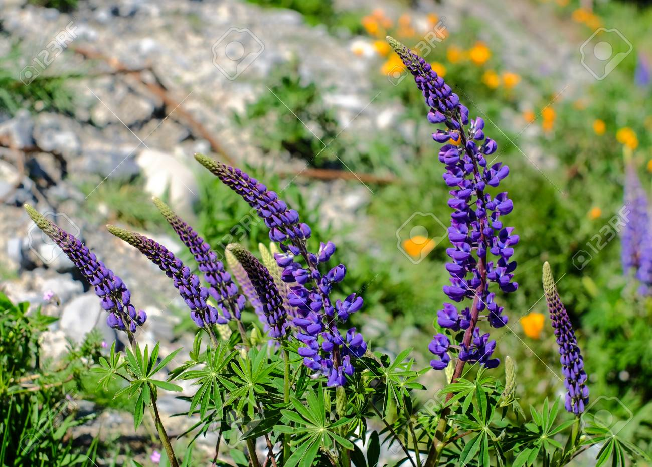 Colorful Lupine Flowers Blooming At Spring Time In New Zealand
