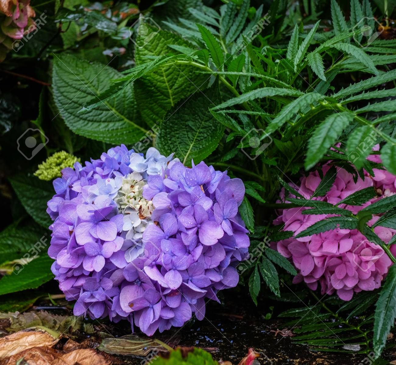Beautiful Purple Hydrangea Macrophylla Flowers At Garden In Spring