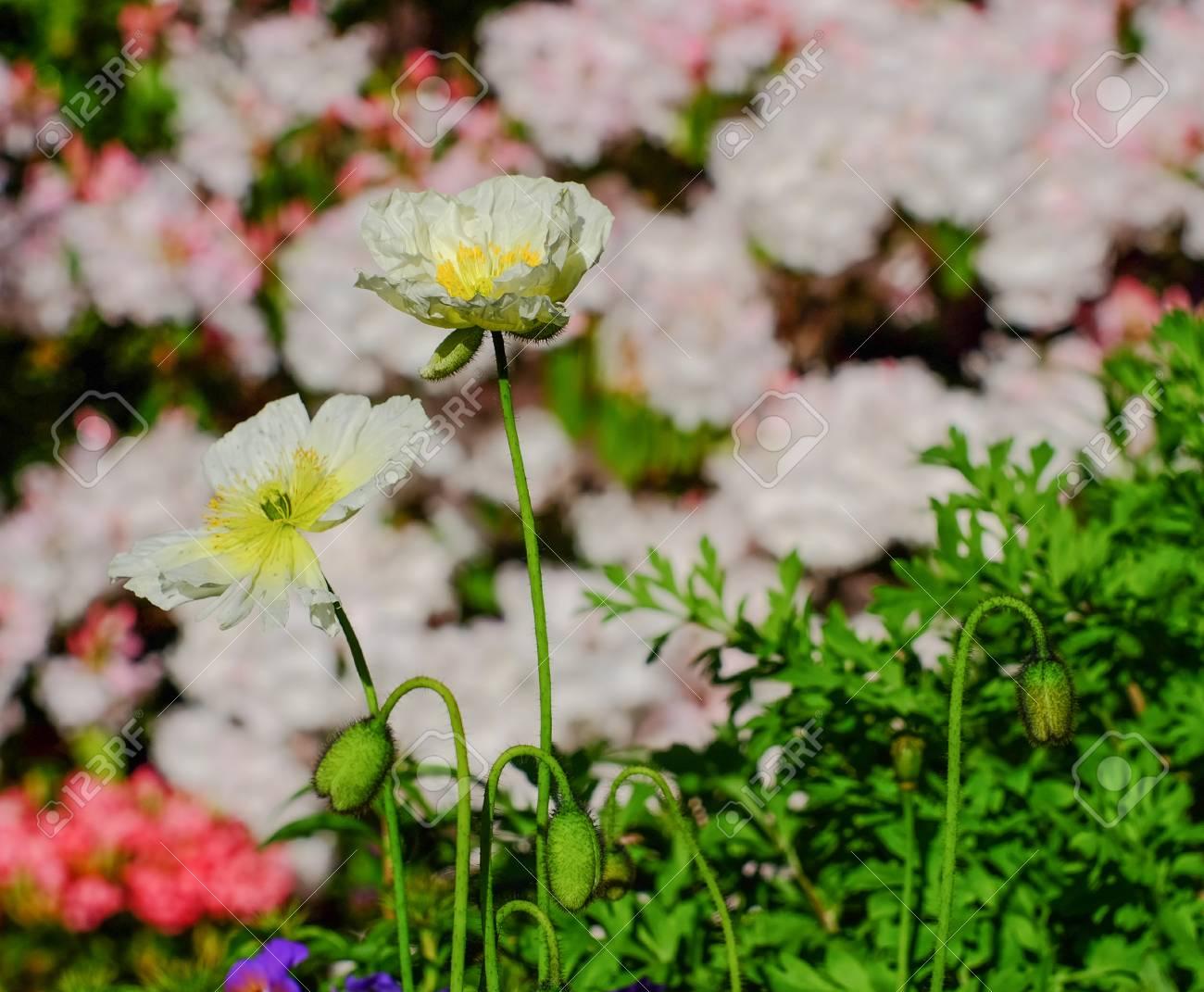 White Poppy Flowers At Botanic Garden In Spring Time Stock Photo