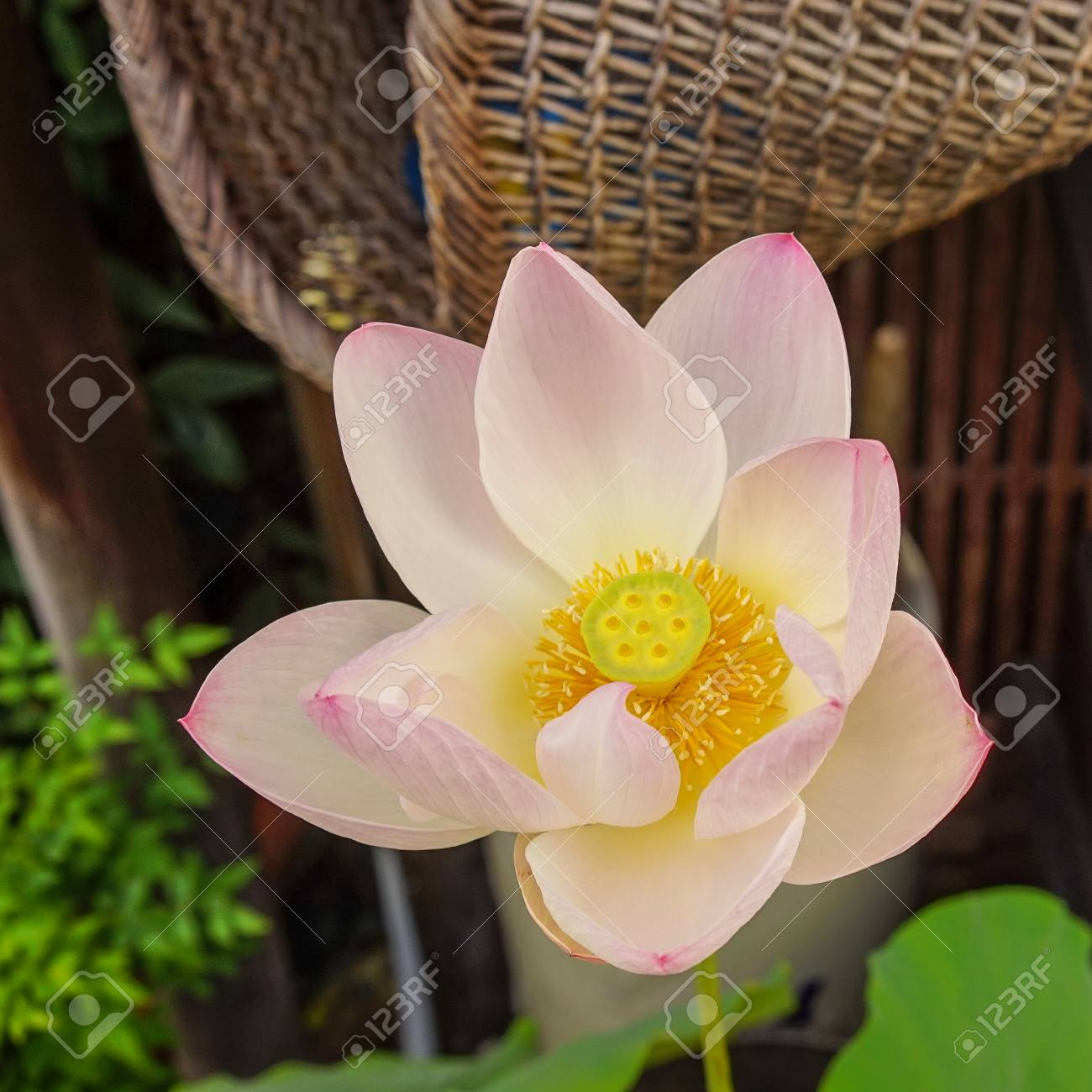 Lotus Flower At A Traditional Wooden House In Kyoto Japan Stock