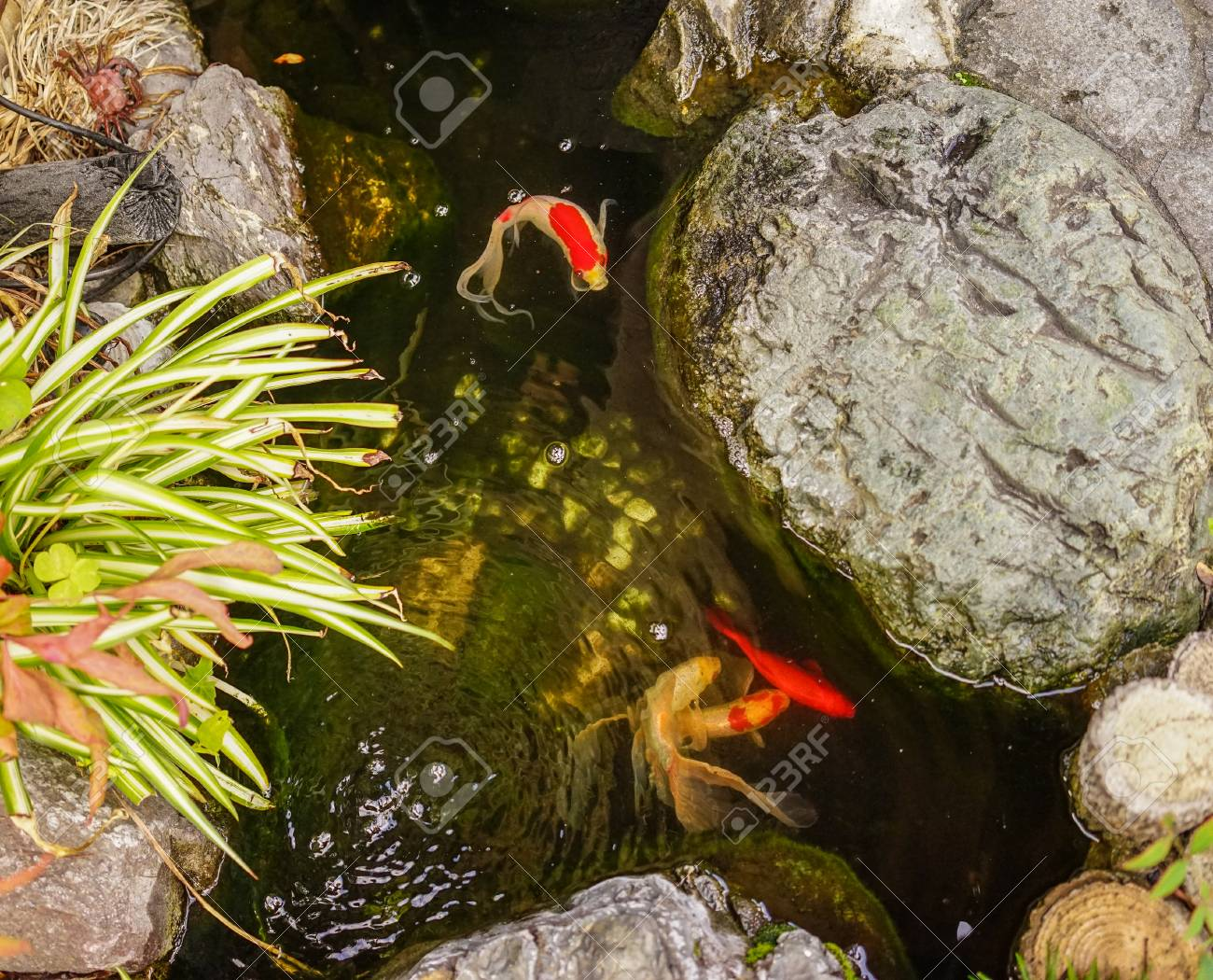 Koi Fish On Pond For Decorations In Japanese Garden