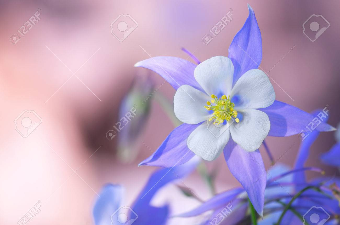 Garden Of Blue Columbine Flowers Blooming Columbine Flower And