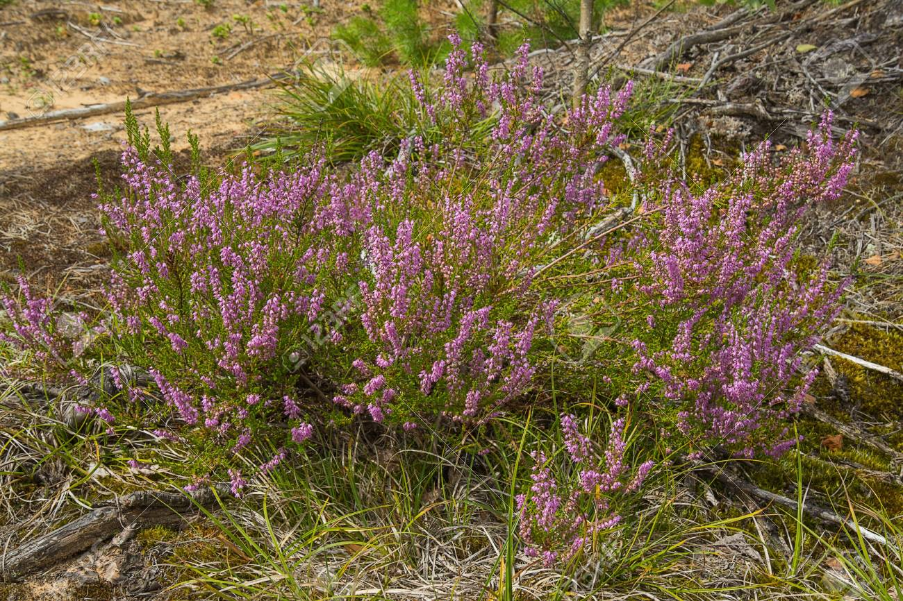 Heather an evergreen shrub with small leaves and purple pink heather an evergreen shrub with small leaves and purple pink flowers heathers lavish mightylinksfo