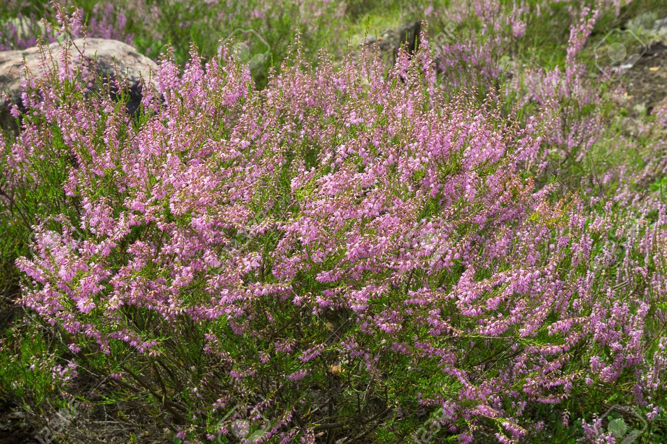 Heather An Evergreen Shrub With Small Leaves And Purple Pink