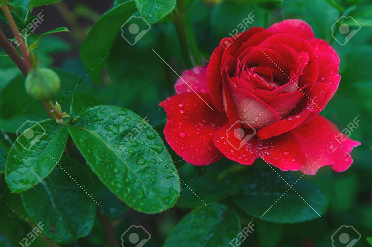 Favorite Flowers A Very Beautiful Rose Beautiful Red Rose With