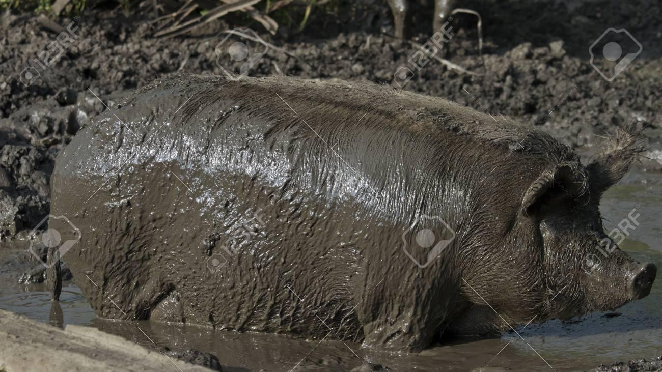 11. PORK FORBIDDEN 14871578-pig-farm-dirt-Stock-Photo