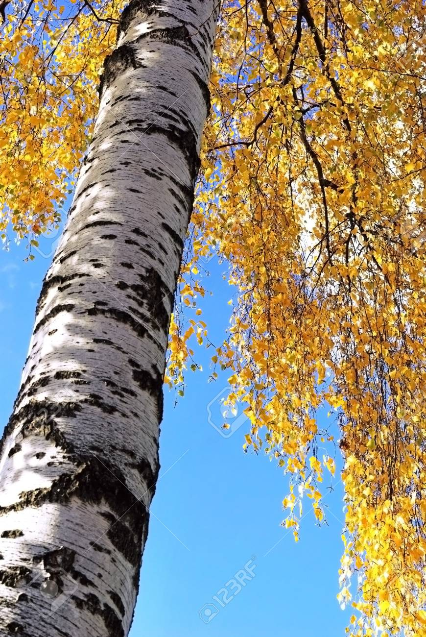 Trunk of a birch in autumn with some branches against the background of the sky Stock Photo - 16564403