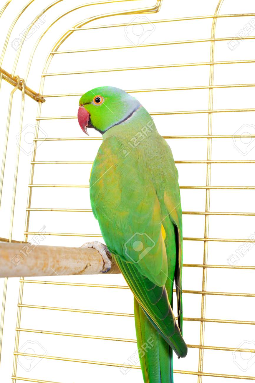 big green parrot in the cage stock photo picture and royalty free