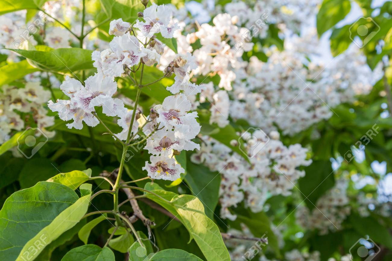 Flowering Tree Catalpa Bignonioides. White Flowers And Green.. Stock ...