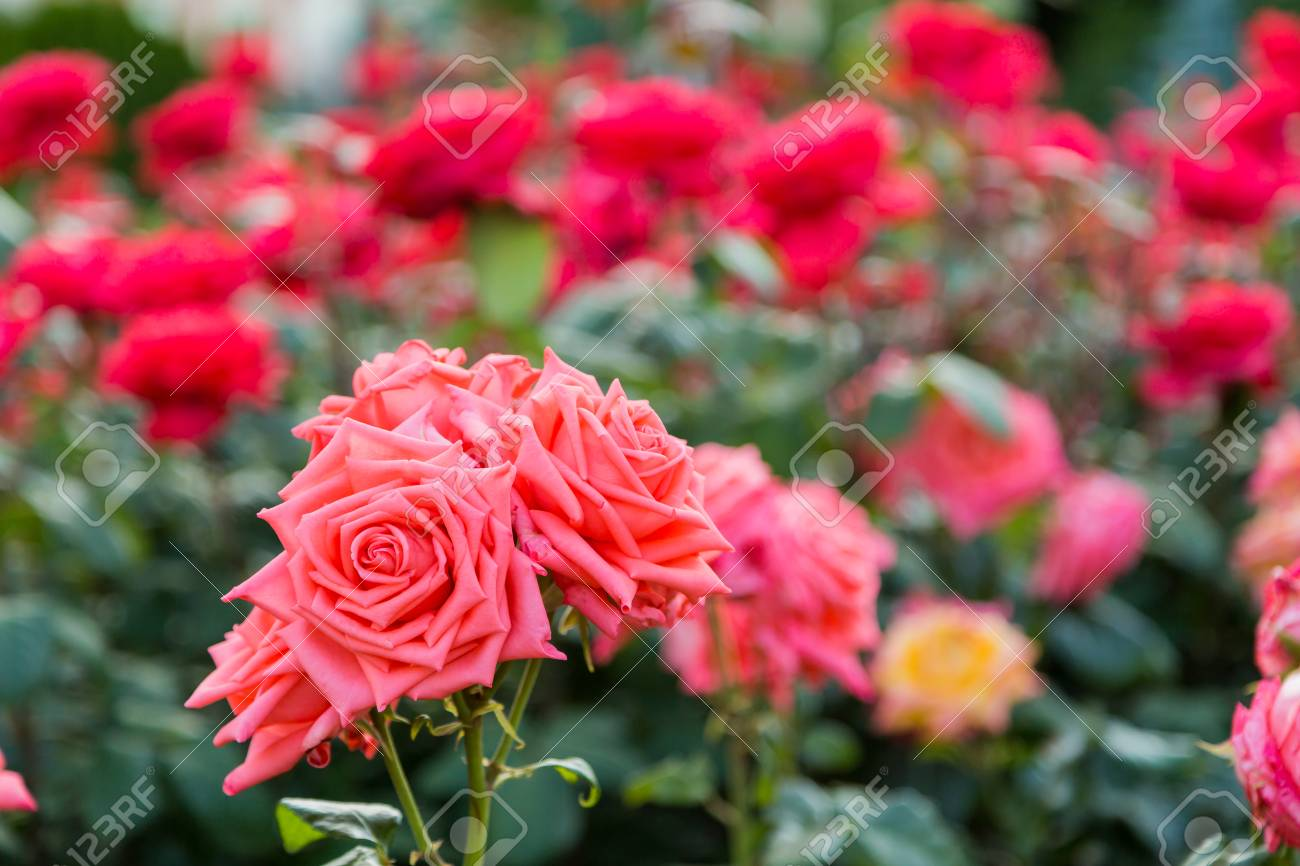 Blooming Rose Bushes Bright Beautiful Flowers In The Garden Stock