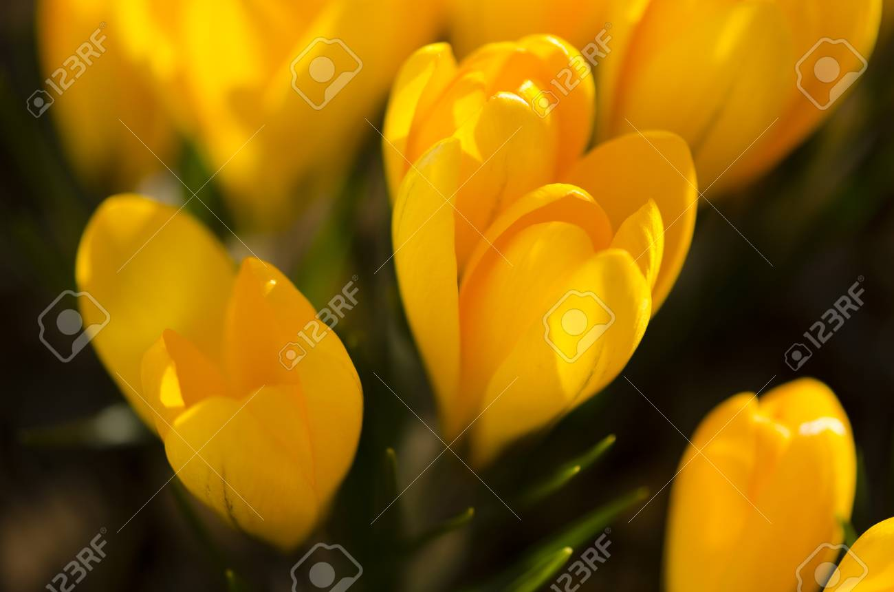 Yellow Crocus Flowers Stock Photo Picture And Royalty Free Image