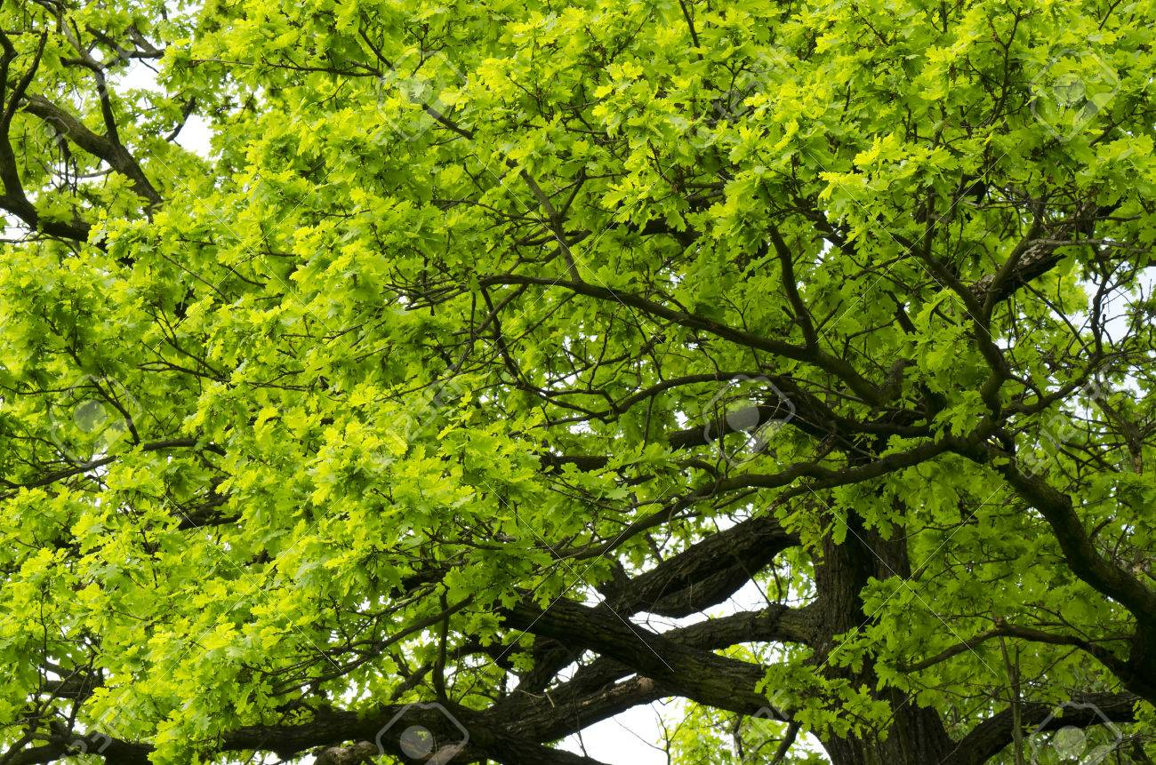 Quercus images & stock pictures. royalty free quercus photos and