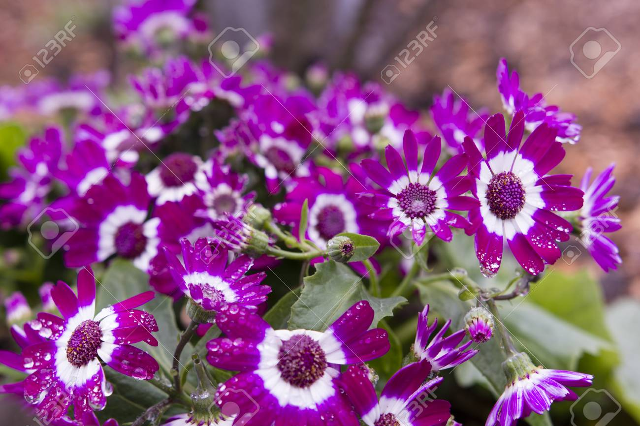 Purple Flowers With White Trim On The Flowers In The Garden Stock