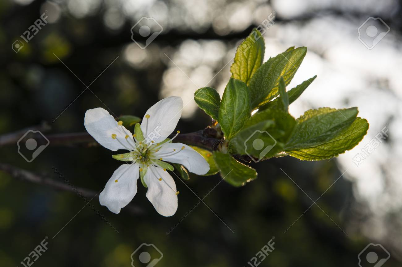 White Plum Blossom On A Tree With Green Leaves Stock Photo Picture