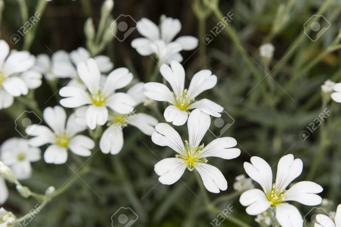 White flowers alpine plants with gray leaves stock photo picture stock photo white flowers alpine plants with gray leaves mightylinksfo