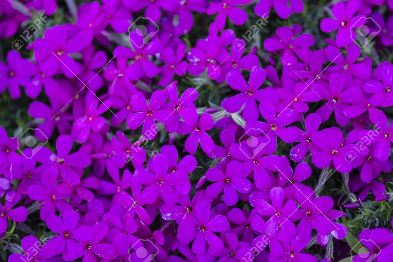 Purple flowers and perennials in rockers stock photo picture and purple flowers and perennials in rockers stock photo 59949768 mightylinksfo