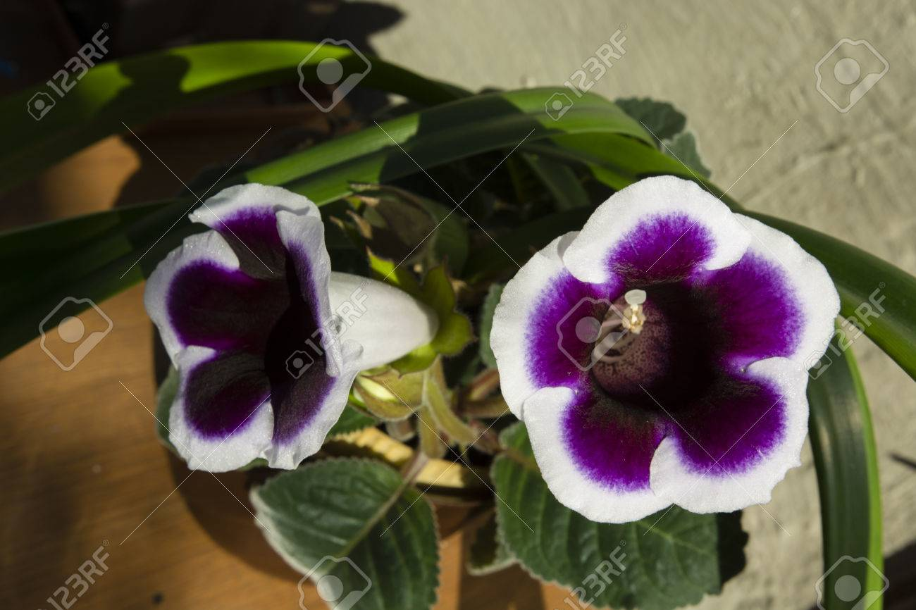 Purple Bell Shaped Flowers Gloxinia With White Trim Stock Photo