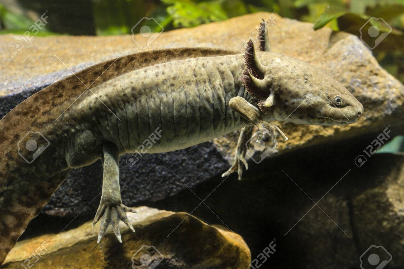 Les phases de l'Axolotl 70653703-Axolotl-in-a-natural-color-from-rocks--Stock-Photo
