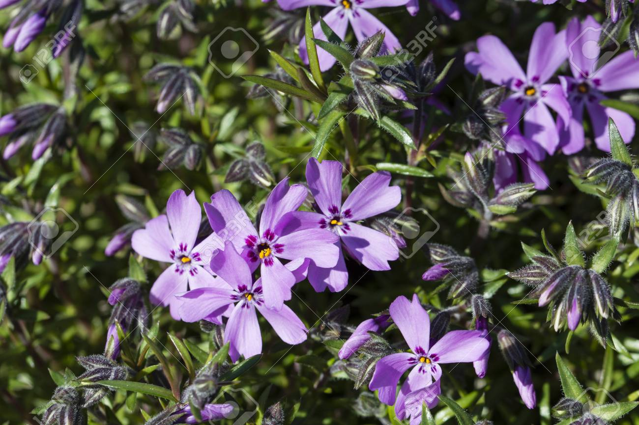 Pink Purple Flowers Of Rocks Stock Photo Picture And Royalty Free