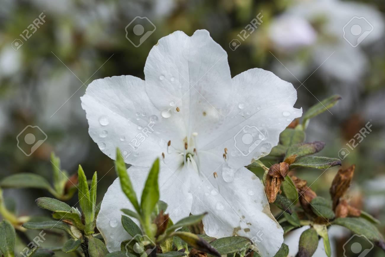 White azalea flower in detail on pistils stock photo picture and stock photo white azalea flower in detail on pistils mightylinksfo
