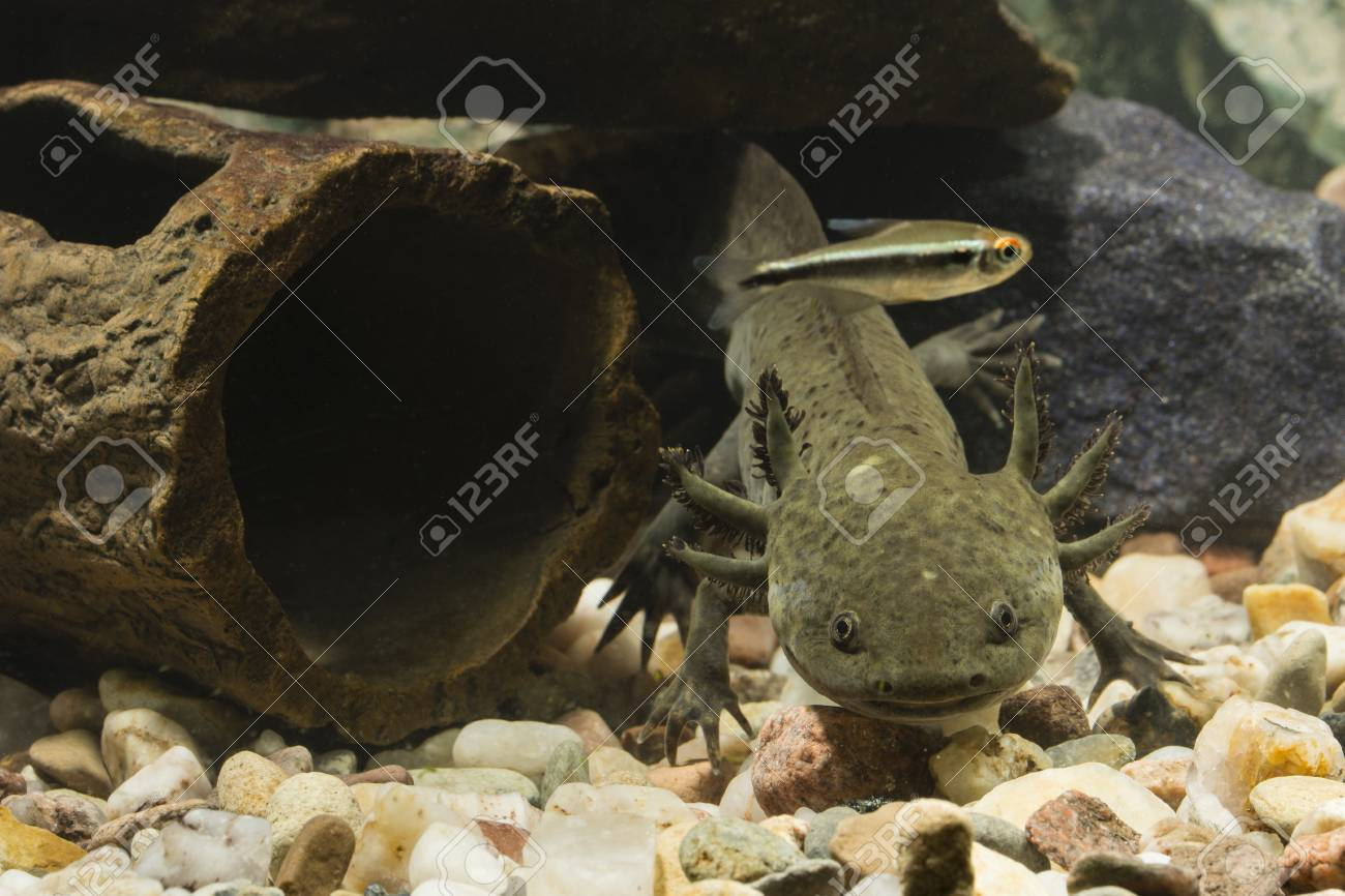 Axolotl Mexican In Aquarium With Fish Stock Photo Picture And Royalty Free Image Image 95412975