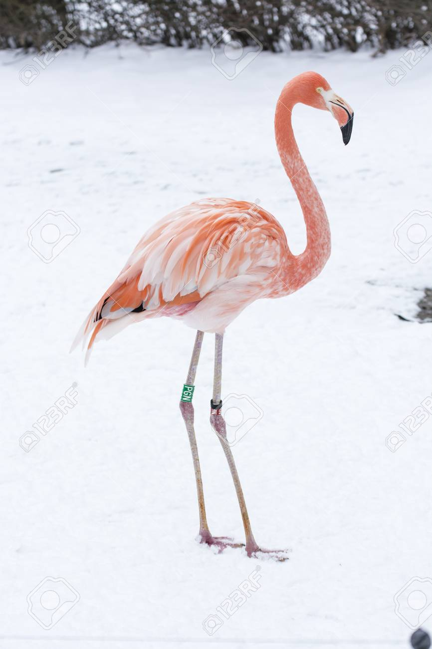 Image result for picture of a flamingo in the snow