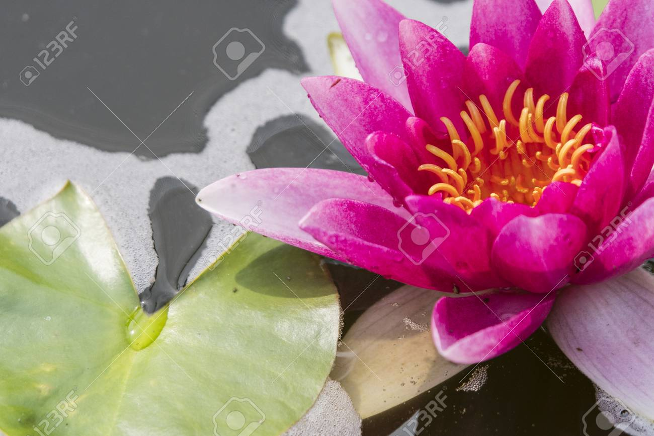 Red Water Lily Flower And Green Leaf Royalty Vrije Foto Plaatjes