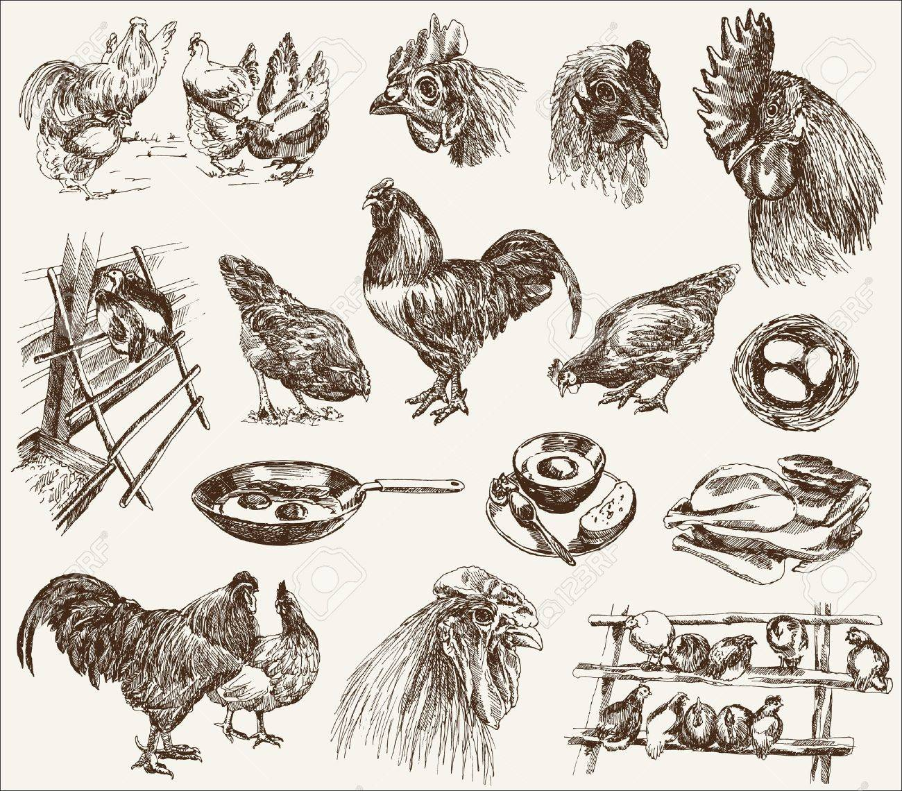 chicken breeding  collection of  designs on a white background Stock Vector - 16780891