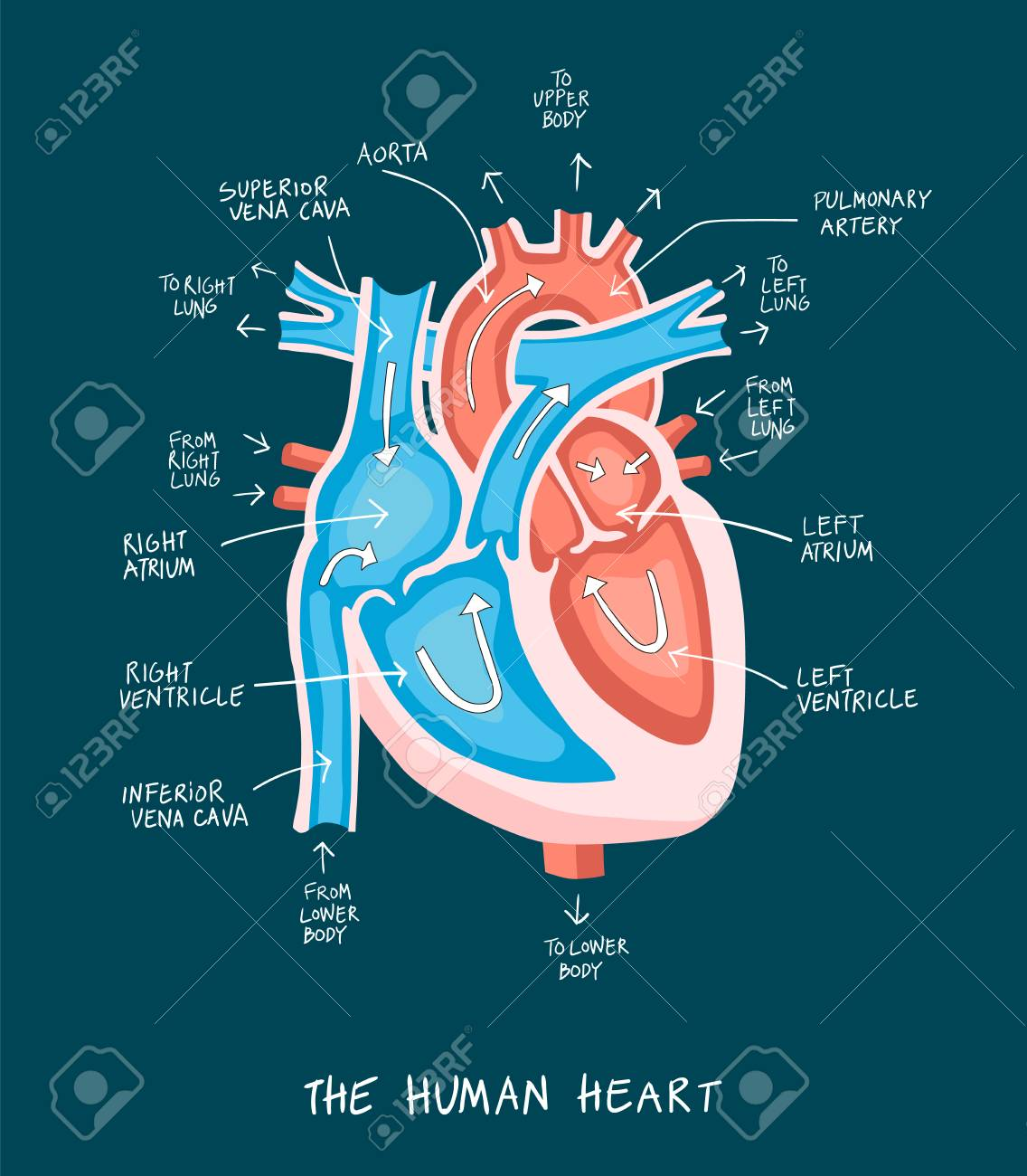 Hand drawn illustration of human heart anatomy educational hand drawn illustration of human heart anatomy educational diagram showing blood flow with main parts ccuart Images