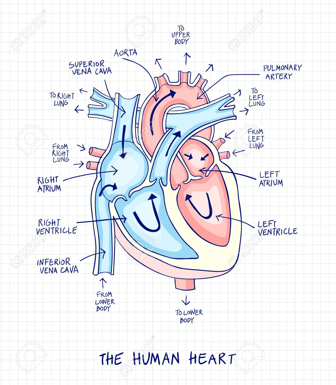 sketch of human heart anatomy ,line and color on a checkered background   educational diagram