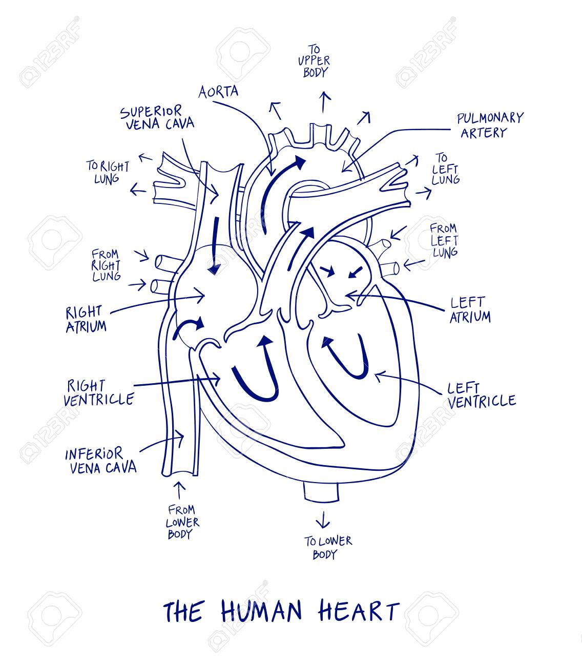 How To Make Human Heart Diagram Easily - Somurich com