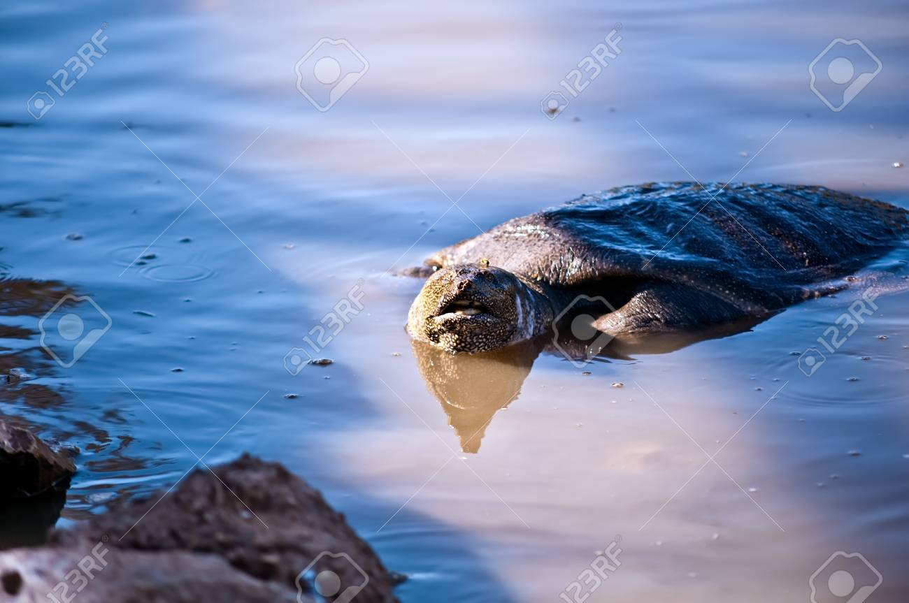 African myagkokozhaya turtle ( Trionyx triunguis  ) .One of the last three major populations in the Middle East.Israel. Brook Alexander. Stock Photo - 9554700