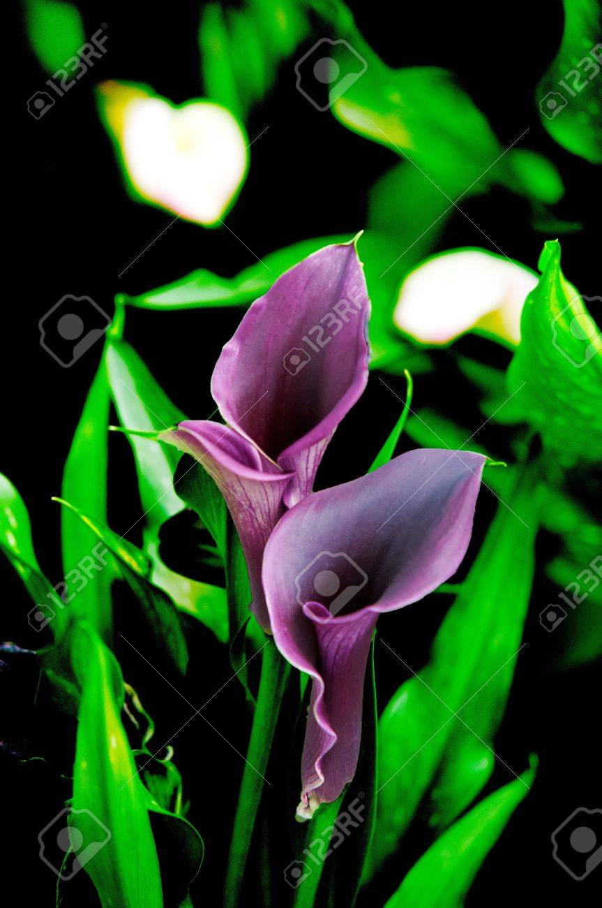 Blooming flowers black calla lilies with green leaves stock photo blooming flowers black calla lilies with green leaves stock photo 20701829 izmirmasajfo
