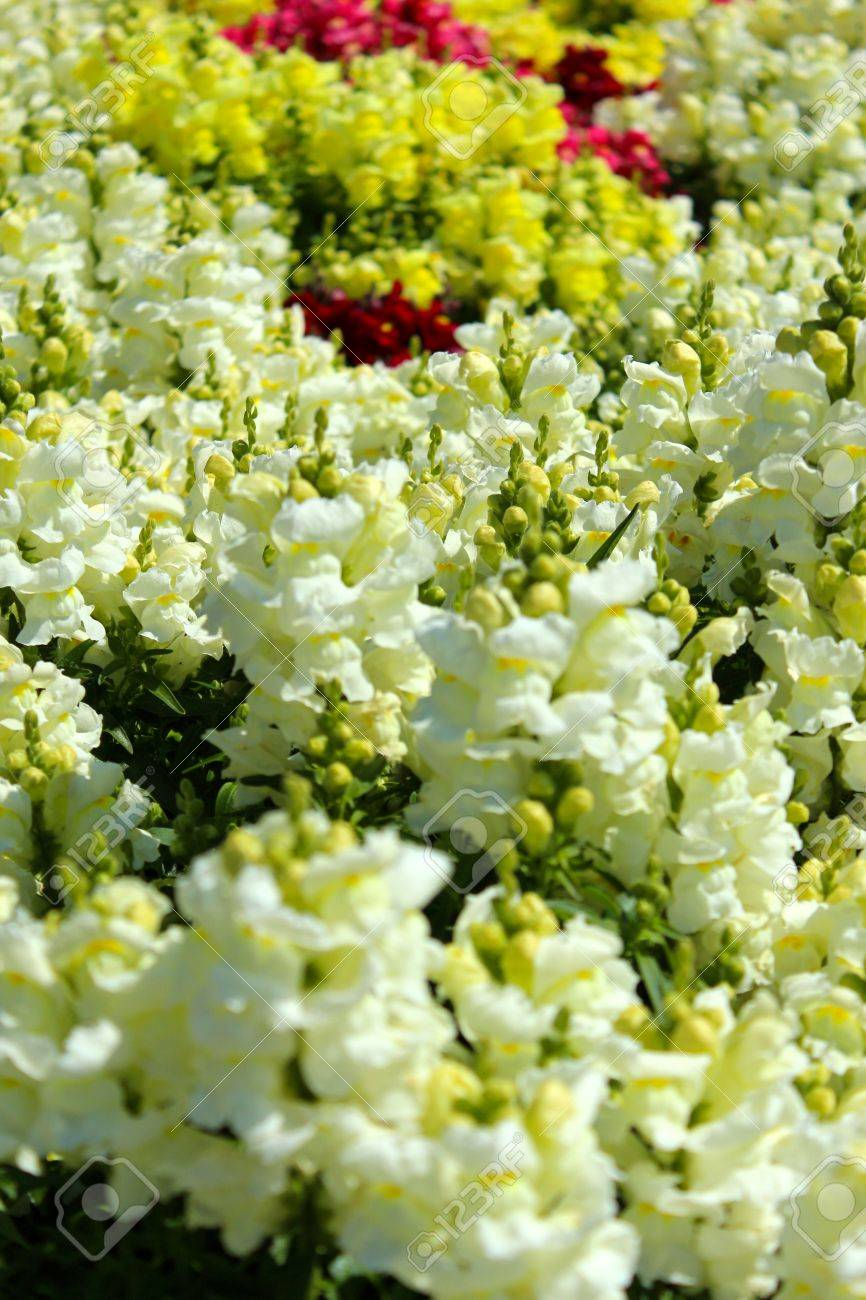 snap dragon flowers in a garden bed stock photo picture and royalty