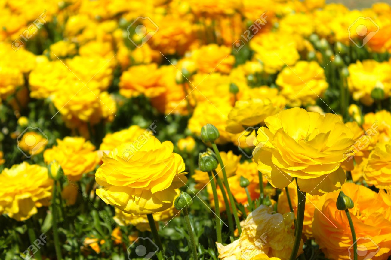 Yellow Roses In A Garden Bed Stock Photo Picture And Royalty Free