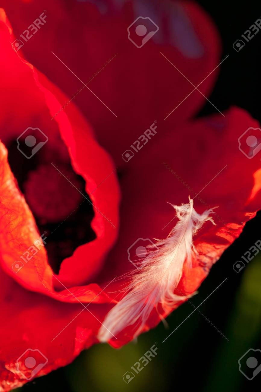 Red poppy flower with white feather stock photo picture and royalty red poppy flower with white feather stock photo 9755274 mightylinksfo