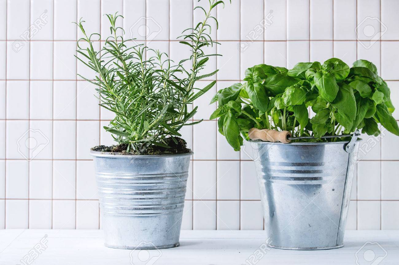 Herb pots for kitchen - Fresh Herbs Basil And Rosemary In Metal Pots Over Kitchen Table With White Tiled Wall At