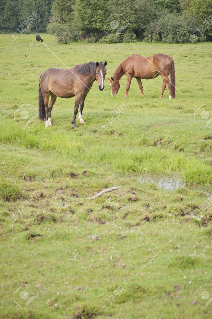 Grazing horses in a meadow Stock Photo - 10573623