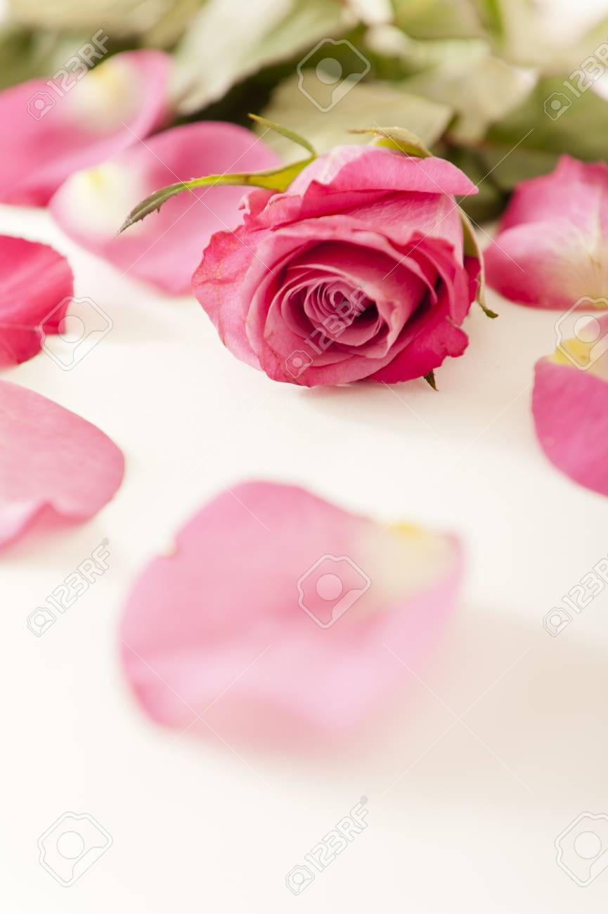 Close up of a pink rose and petals Stock Photo - 11067879
