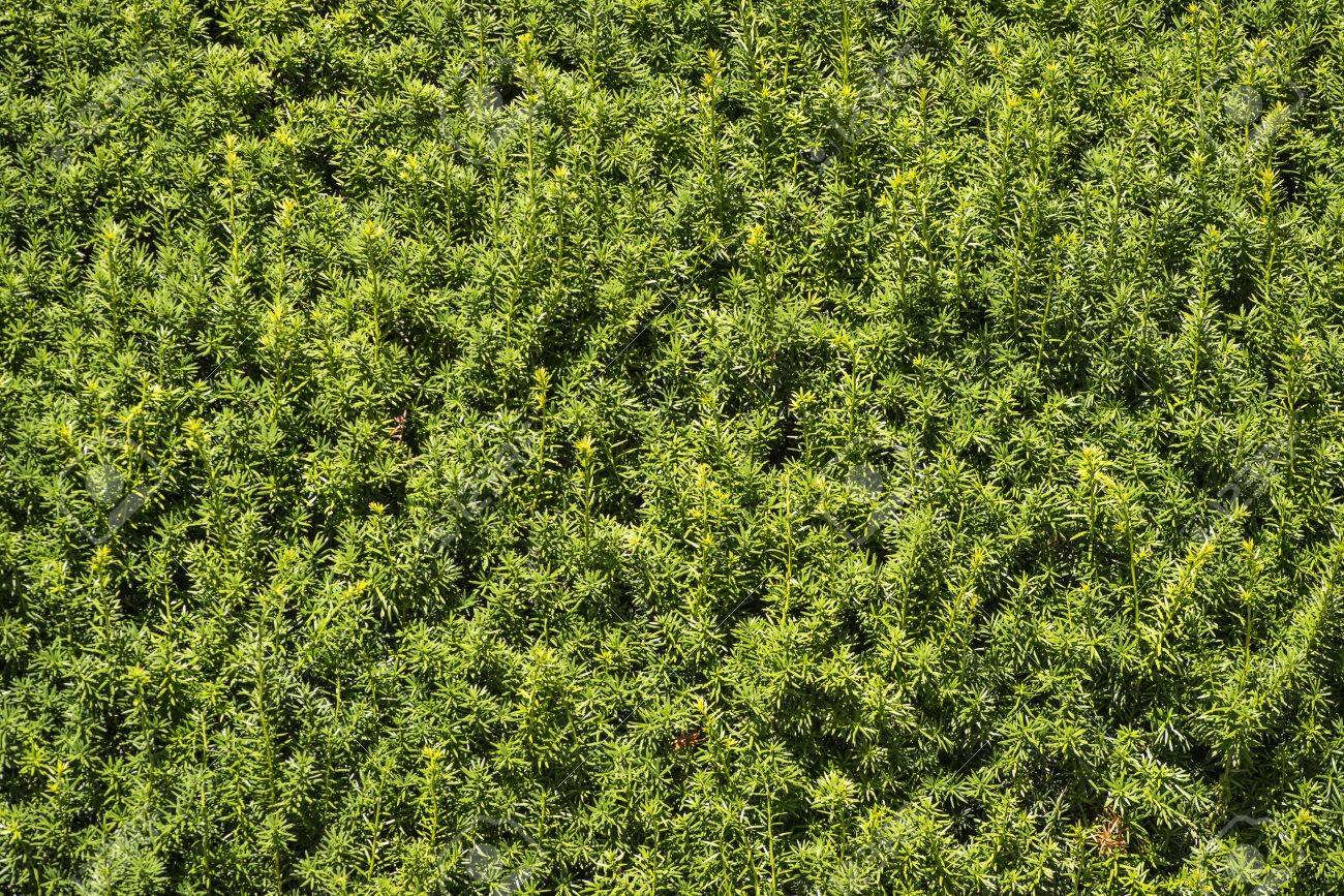 Seamless Front View Of Hedge Bush Growing In Garden Stock Photo