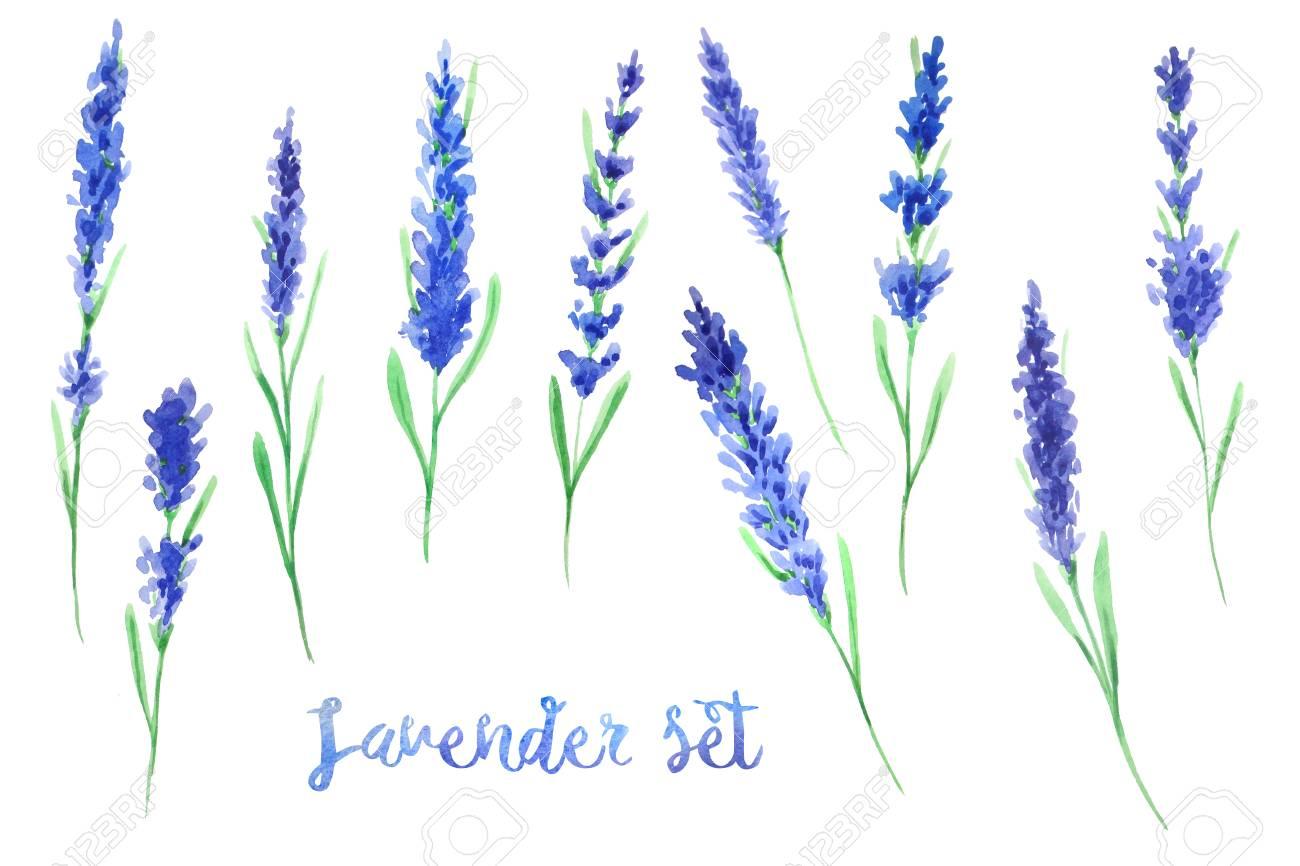 水彩のラベンダーの花手描きの白い背景に分離されたプロヴァンスの