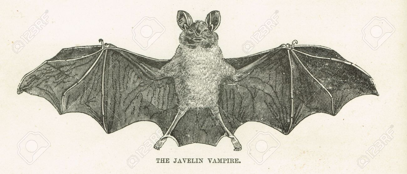 The Javelin Vampire Bat A Scientific Drawing Of A Small Blood
