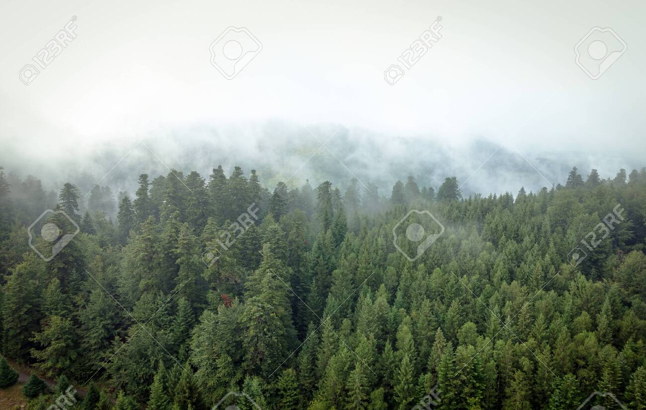 Misty mountain forest with spruces - 143500589