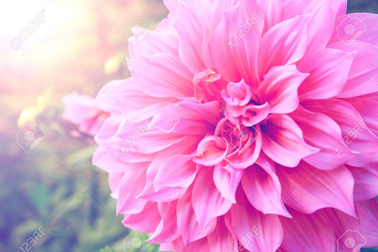 Dahlia pink background blur - 63914506